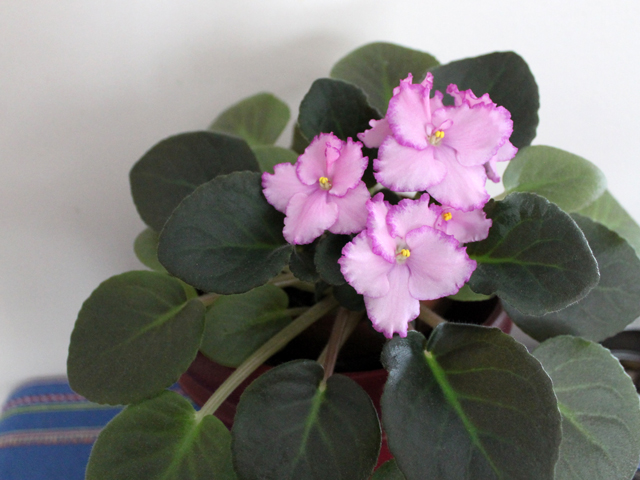 african violet in bloom