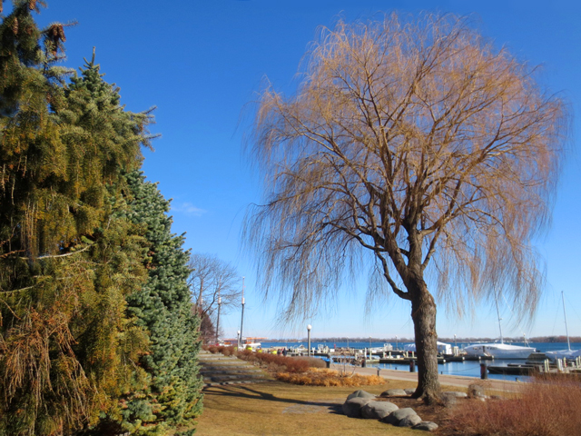large weeping willow tree toronto waterfront