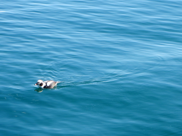 longtailed duck aka oldsquaw diving duck toronto waterfront harbour