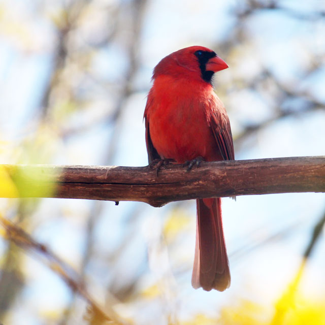 adult male cardinal bird in toronto