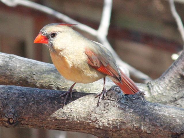 bird watching in toronto female cardinal springtime