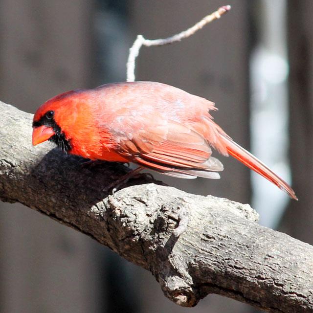 bird watching in toronto male cardinal springtime