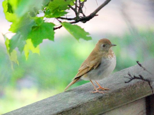 bird watching in toronto thrush