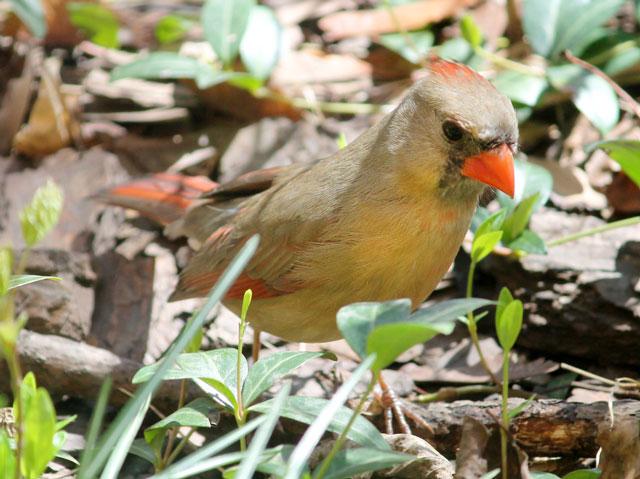 birds in toronto female cardinal