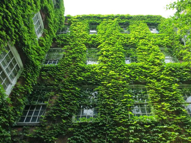 courtyard garden historic building 401 richmond street ivy