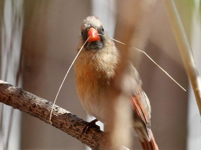 female cardinal bird holding a twig in toronto