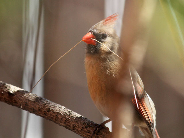 female cardinal bird in toronto twig for nest