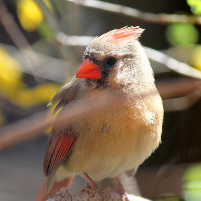 female cardinal bird in toronto