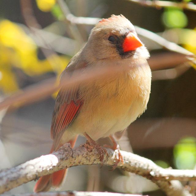 female cardinal bird toronto