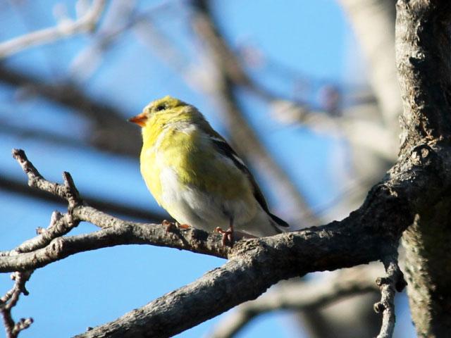 female yellow bellied flycatcher toronto bird watching