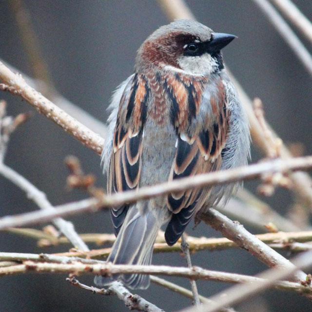 house sparrow in toronto