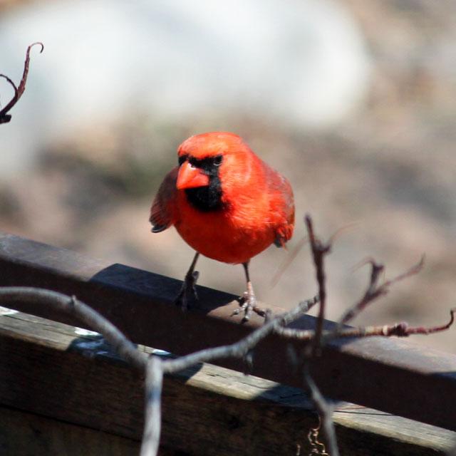 male cardinal bird in toronto