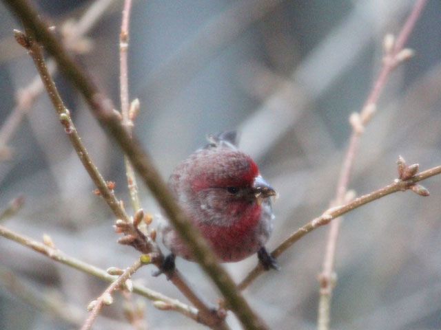 male house finch eating forsythia buds birds in toronto