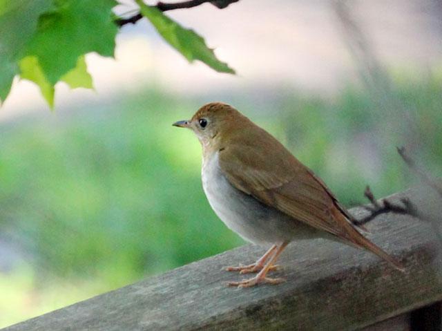 migrating birds in toronto thrush