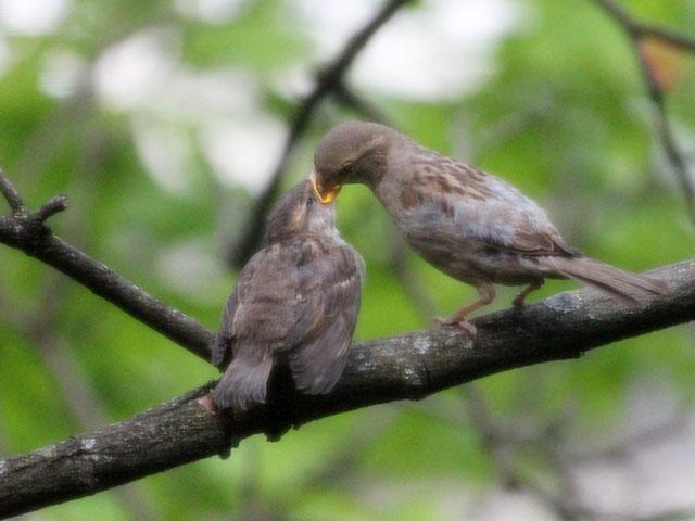 mother sparrow feeding baby bird toronto