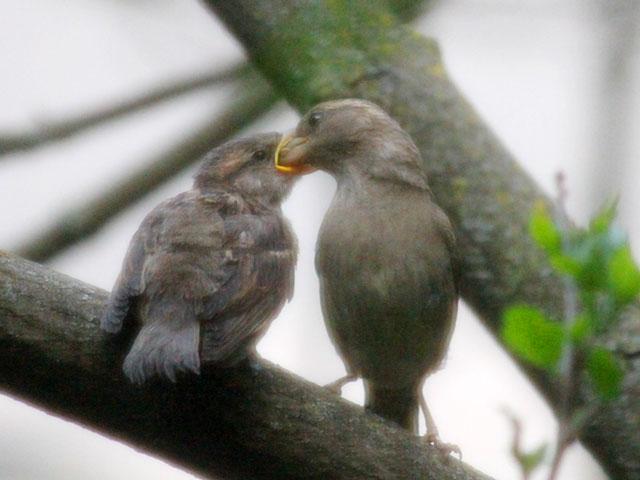 mother sparrow feeding baby bird watching in toronto