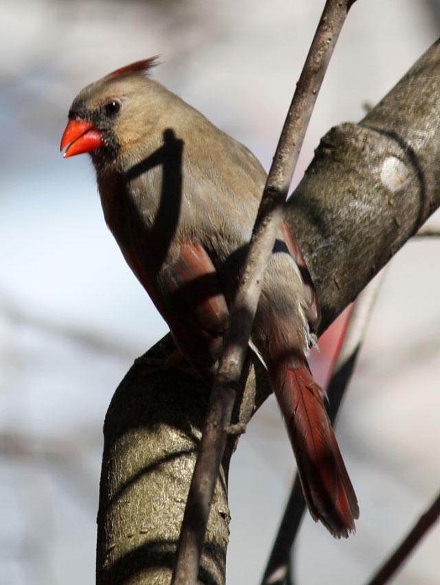 portrait of a bird female cardinal seen in toronto