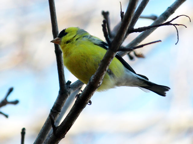 yellow bellied fly catcher in toronto male