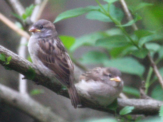 young sparrows in toronto
