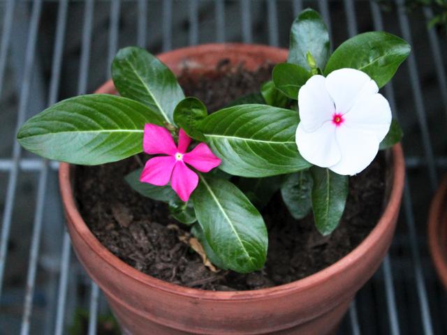 annual vinca plant