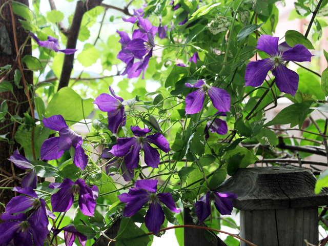 clematis plant in flower toronto