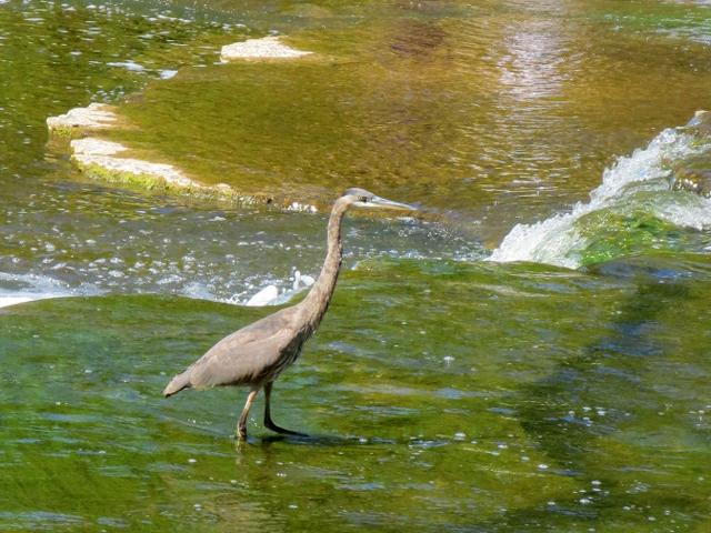 blue heron in ontario canada sauble falls