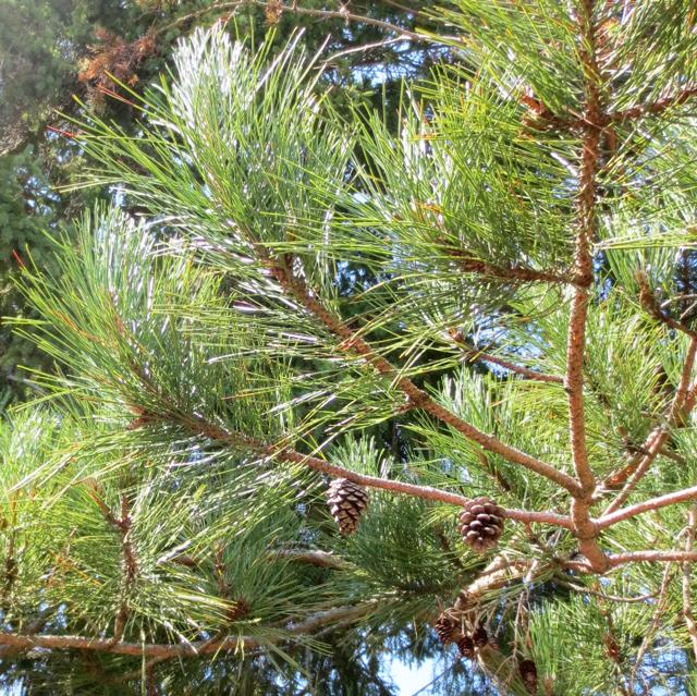 coniferous trees pine cones