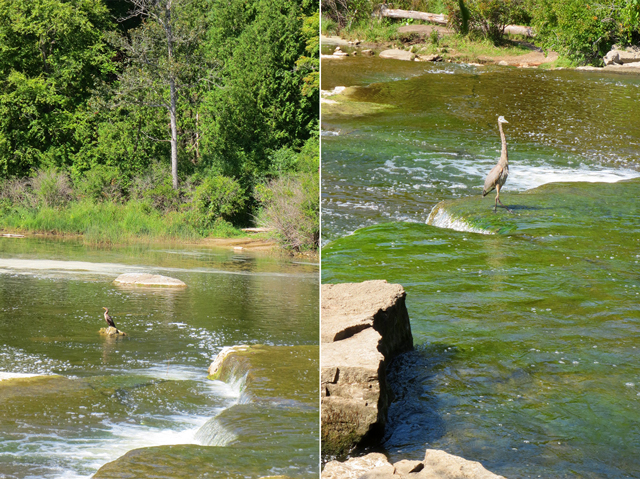 herons in ontario sauble falls