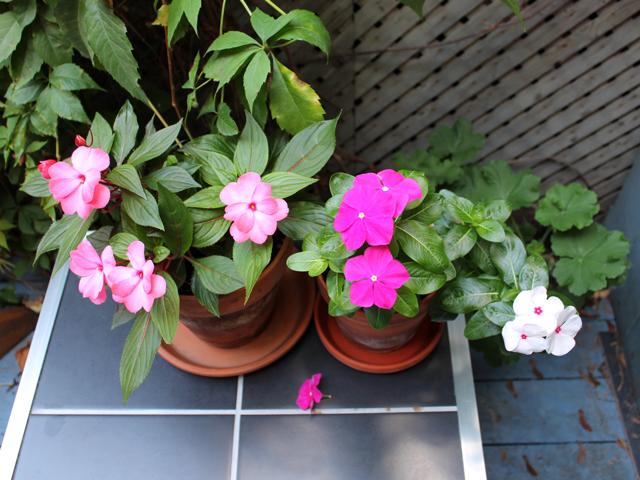 new guinea impatiens and annual vinca in pots toronto garden flowers
