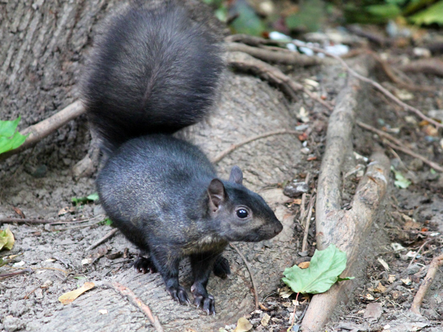 squirrel in toronto