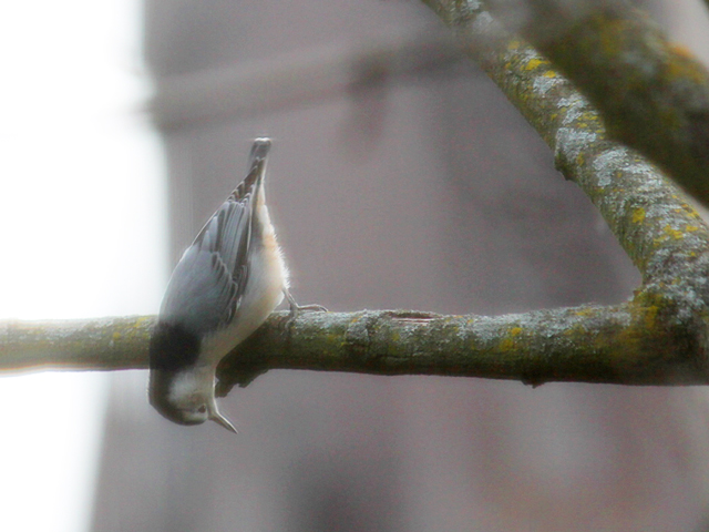 white breasted nuthatch bird in toronto autumn