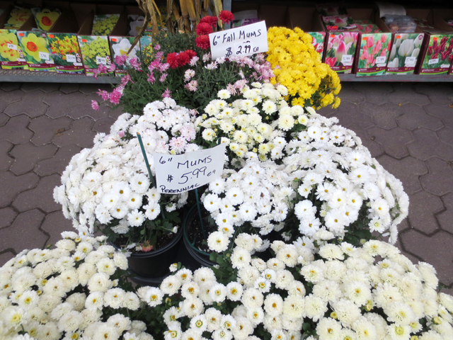 mums and bulbs at east end garden centre